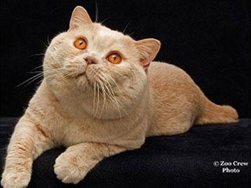 Castlkatz British Shorthairs • Award Winning Cats